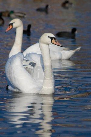 Beautiful floating swan
