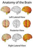 Medical Anatomy of the Brain Illustration, Human