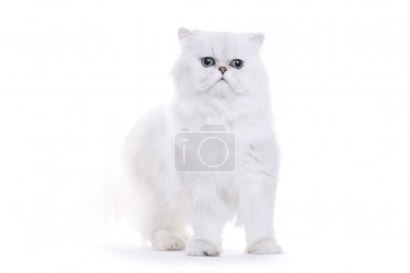 Cat, Chinchilla persian