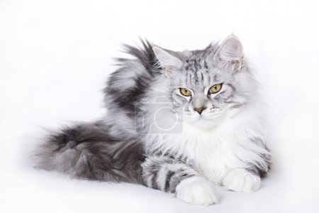 Beautiful cat, Maine Coon