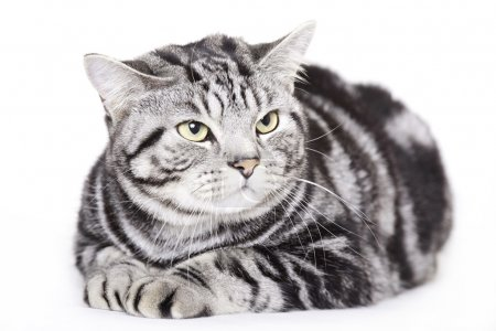 Beautiful Cat, British Shorthair