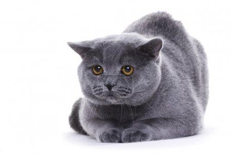Cat portrait, British shorthair