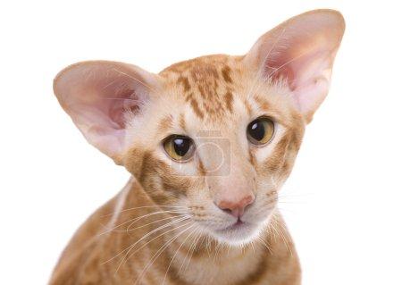 Cat portrait, Exotic shorthair