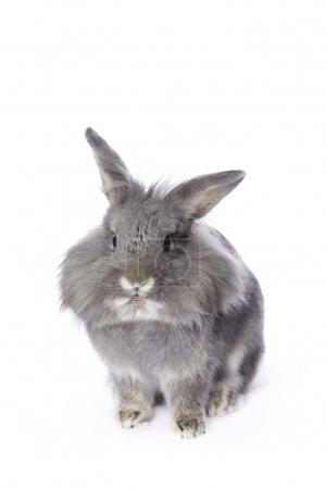 Photo pour Jeune lapin nain à tête de léon gris - image libre de droit