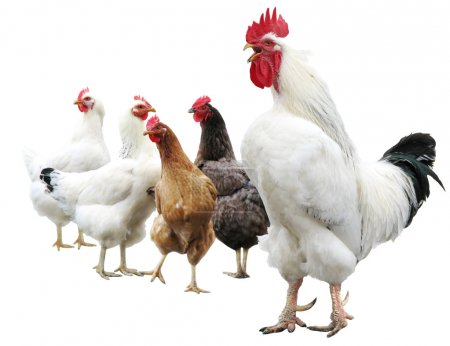 White cock and hens isolated