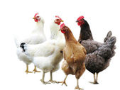 Cute funny hens isolated