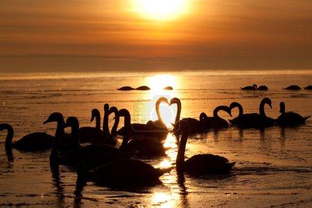 Photo pour Cygnes romantiques dans le magnifique coucher de soleil - image libre de droit