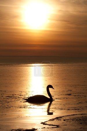 Photo pour Cygne solitaire dans la belle hiver coucher du soleil, la mer Baltique, saulkrasti. - image libre de droit