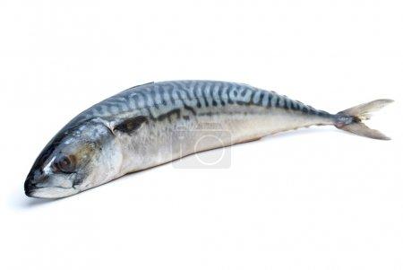 Single fresh mackerel fish isolated on the white b...