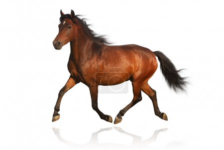Beautiful arabian pony in motion isolated on white