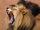 """Постер, картина, фотообои """"африканский лев"""""""