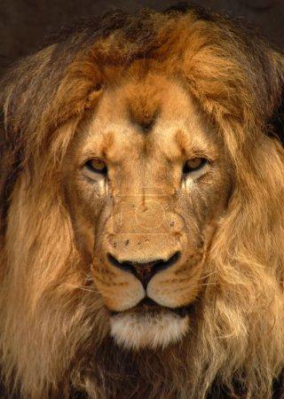 Photo pour Une vue de portrait d'un lion mâle africain avec crinière exceptionnelle, représentant le lion de barbarie typique et à la recherche d'une grande partie comme le lion du Cap éteinte. - image libre de droit