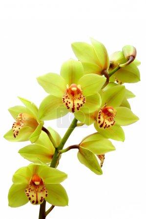 Photo pour Orchidée - image libre de droit