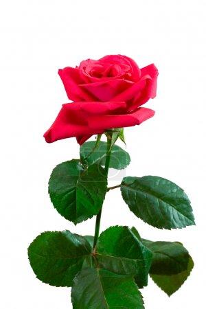 Photo pour Gros plan rose rose, isolé sur blanc - image libre de droit