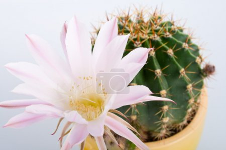 Blossoming cactus with big white flower