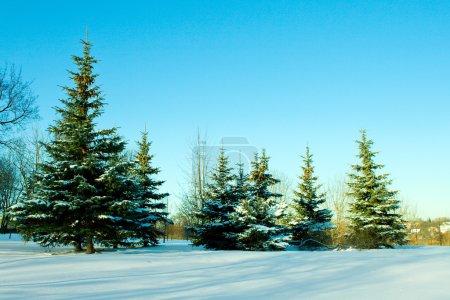 December fir trees with snow
