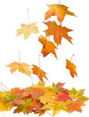Fallen maple leaves isolated