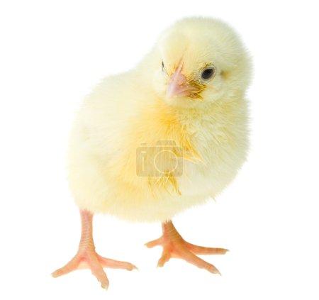 Single yellow chick
