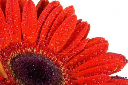 Part of red gerbera with drops of water