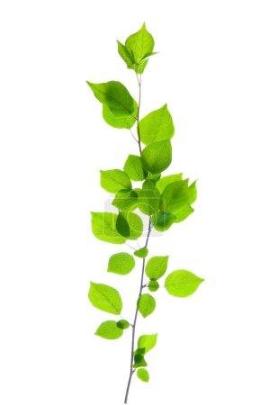 Photo pour Branche verte isolée sur blanc - image libre de droit