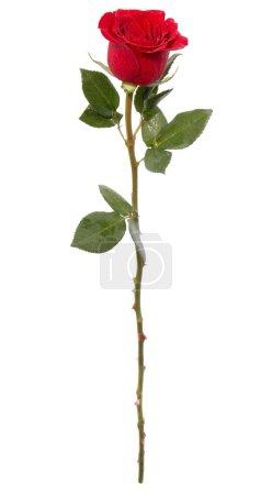 Photo pour Rose rouge isolée sur fond blanc - image libre de droit