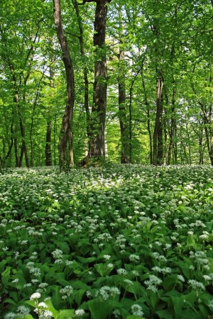 Photo for A beautiful green forest, with many ramsons - Royalty Free Image