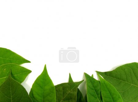 Photo for Green leafs on white background - Royalty Free Image