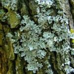 Lichen plant on tree...