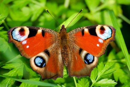 """Photo pour Gros plan de papillon sur l'herbe verte. C'est le nom """"Peacock Eye"""" """". - image libre de droit"""
