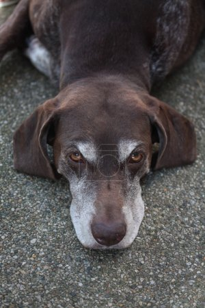 Germain shorthaired pointer
