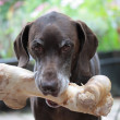 German shorthaired pointer showing a giant bone...