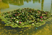 The water lily of a garden in Seville