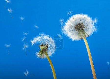 Photo pour Pissenlits soufflant dans le vent - image libre de droit