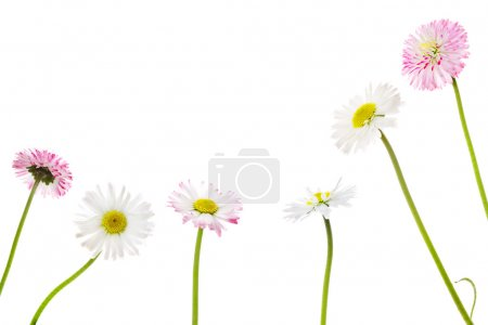 Daisies on a white background