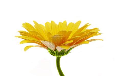 Beautiful yellow flower petals closeup