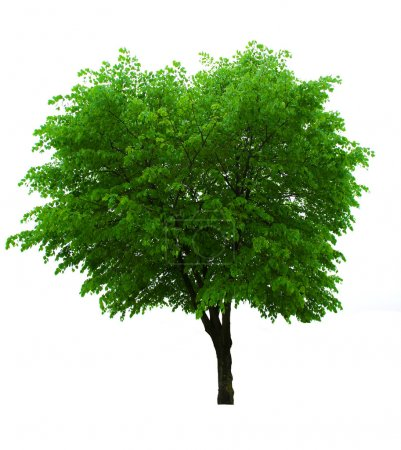Photo for Isolated green spring tree on white - Royalty Free Image