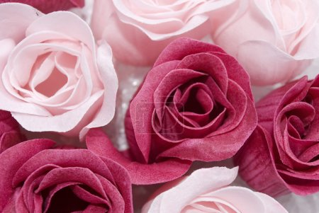 Photo for Pink and red roses - Royalty Free Image