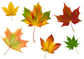 Diverse vector maple leaves