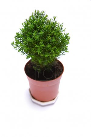 Photo for Tree in pot isolated on white background - Royalty Free Image