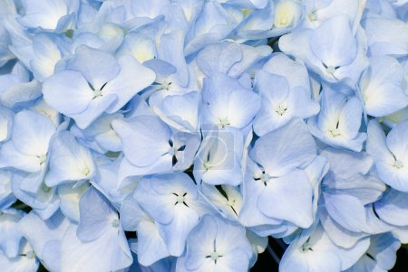 Photo for Colorful fresh flower background, hydrangea flower. - Royalty Free Image