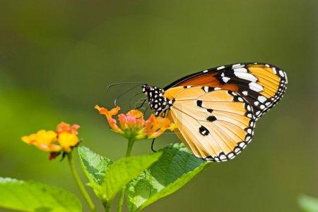 Photo for Milkweed butterfly (Anosia chrysippus, Danaidae) feeding on flower - Royalty Free Image