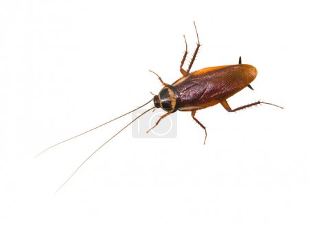 Isolated cockroach on white background