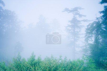 Photo pour Pin dans la forêt avec brouillard, forêt naturelle . - image libre de droit