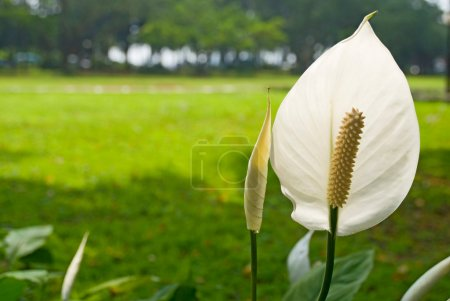 White Peace lily in the garden