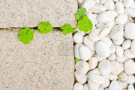 Photo for White pebble with green leaf in garden - Royalty Free Image