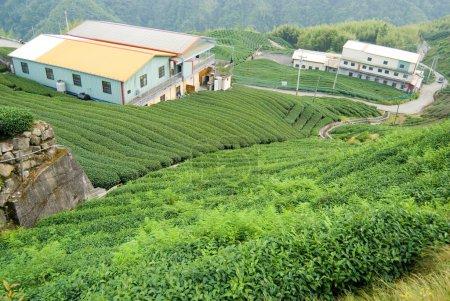 Tea trees on hill