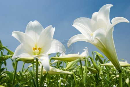 Photo for White lily in the field - Royalty Free Image
