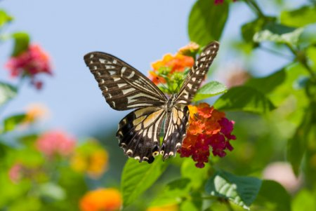 Photo for Colorful swallowtail butterfly flying and feeding under blue sky - Royalty Free Image