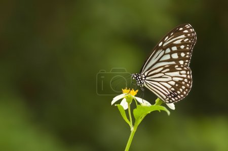 Natural milkweed butterfly