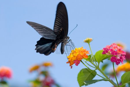 Big black swallowtail butterfly flying